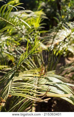 lepidozamia peroffskaya palm leaf background design from australia