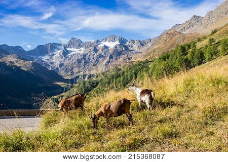 Timmelsjoch High Alpine Road landscape and goats. Mountains and peaks covered with glaciers and snow natural environment. Hiking in the Passo del Rombo. Ötztal alps Austria and Italy border Europe