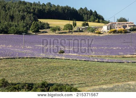 Lavender field near Sault in Provence France