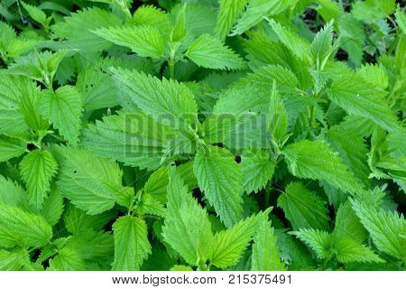Urtica dioica or nettle, stinging nettle the young leaves are edible and can be used as leaf vegetable