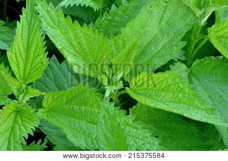 Urtica dioica or nettle, stinging nettle the young leaves are edible and can be used as leaf vegetable.