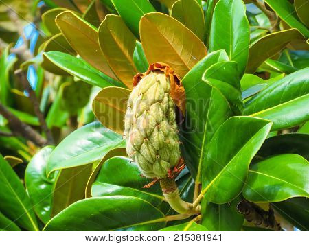 Fruit of the rubber tree or Ficus elastica
