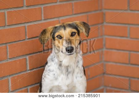 Portrait of mixed breed stray female dogs sitting against brick wall and begging food