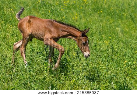 Newborn foal doing first steps on a spring pasture