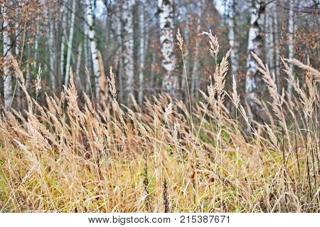 Dry autumn grass in a birchwood. An autumn landscape in Russia a grass in the foreground unsharp trunks of birches against the background of. Close up selective focus