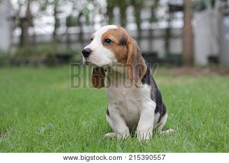 dog Beagle early in the morning at sunrise,Seven weeks old  cute little beagle puppy,cute dog lying on green grass,  Portrait cute dog,small cute beagle puppy dog looking up