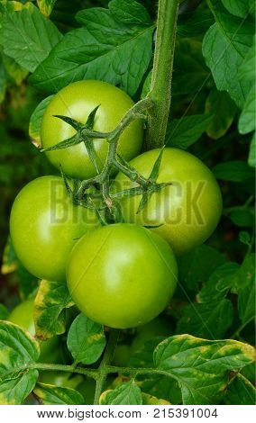 close up from Ripen green tomatoes on field