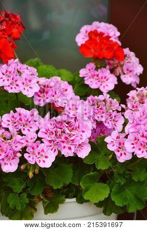 Pelargonium hortorum , Americana Rose Splash or Pelargonium Americana