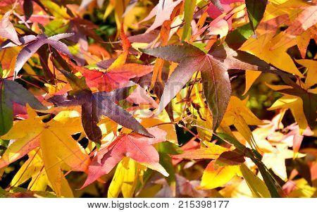 Colorful of American sweetgum leaves in autumn season.