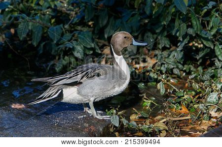 Male Northern Pintail in Central Park .