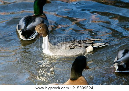 Male Northern Pintail swimming with Mallards .
