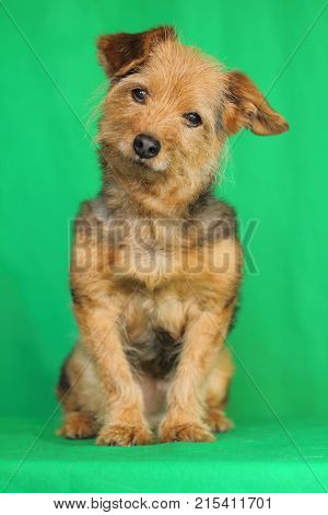 a yorkshire dog sitting listening with head tilted and with the attentive look on green background