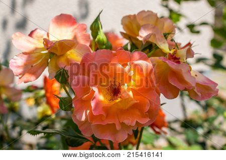 Orange roses and green leaves in the garden