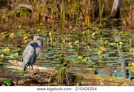 A great blue heron stand alert on a log in Beaver Marsh in Cuyahoga Valley National Park Ohio