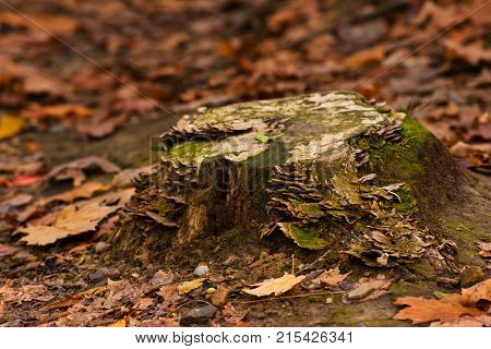 An old tree stump in a forest with turkey tail fungus moss and lichens
