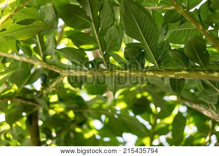 leaves of amorphopallus konjac also known as devils tongue