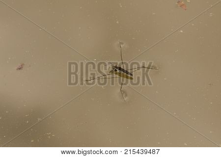 Water strider on the surface of the lake