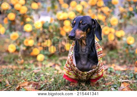 beautiful dachshund dog black and tan in a warm clothes sweater (jacket) sits in the park on a background of autumn flowers and leaves. Warm clothes for dogs