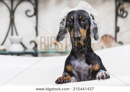 Cute dog dachshund black and tan takes a bath with soap foam wearing a bathing cap