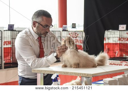 MALAGASPAIN-NOVEMBER 25:In the image we see a judge watching an exotic cat during the celebration of the feline beauty contest.On November 25 2017 in Malaga Spain.