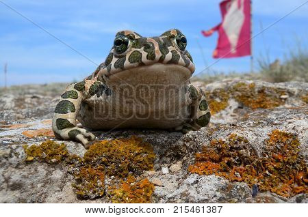 Toad (Bufo viridis). Frog on a stone on a background of a flag with an amphora