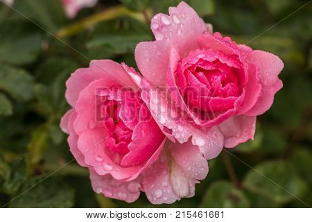 Pink roses and green leaves in the garden