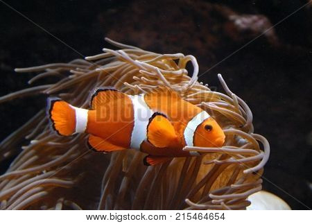 Clown Anemonefish Amphiprion swimming among the tentacles of its anemone home