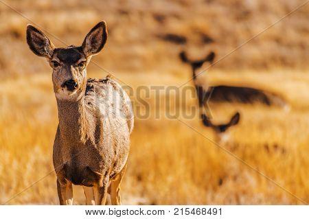Colorado Prairie Elks. The Elk or Wapiti Cervus Canadensis is One of the Largest Species Within the Deer Family. Colorado Wildlife Theme.