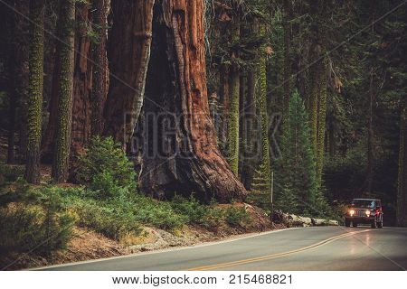 Giant Sequoia and the Generals Highway. Sequoia National Park and Forest. Kings Canyon. California United States of America.
