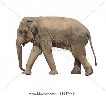 Walking elephant (Elephas maximus). Isolated on white background