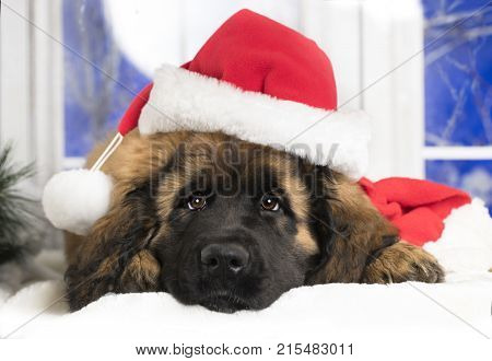 Leonberger portrait puppy