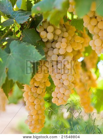 Closeup Of Juicy Ripe Yellow Grapes On A Vine