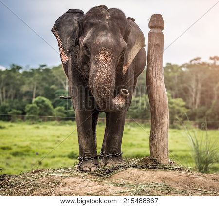 Elephant chained to wooden pilar at outside near forest, Nepal