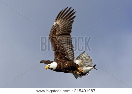 A Bald Eagle flying with a fish held with its talons