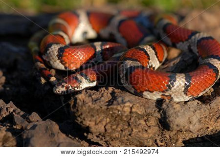 The common red milksnake photographed in northwestern Missouri.