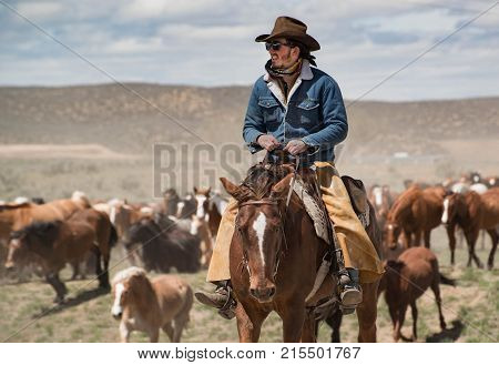 May 1, 2016 Craig, CO: Cowboy in blue jean jacket leading large horse herd during annual trail drive roundup
