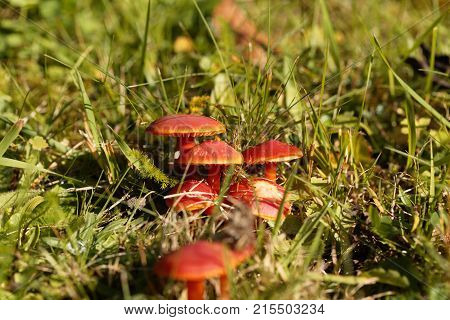 Scarlet Hood Fungi, Hygrocybe Coccinea