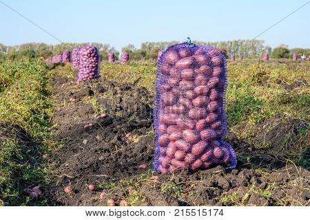 net bag of potatoes on the field during harvest, autumn harvest