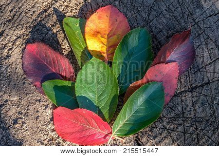 autumn leaves of different colors lie on an old tree stump, outdoor