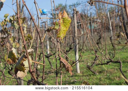 vineyard valley fruit plant farming nature fall foliage autumnal grapes branch. grape leaf autumn