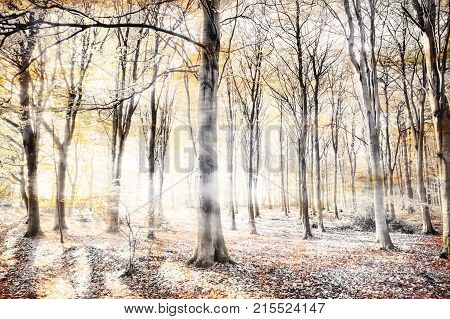 Engish woodland with thick whispers wafting through the dense tree forest. Haunting colours in a surreal natural winter landscape