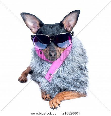 Dog in the clothes of a skier a fur jacket and glasses. Active way of life sport. Portrait of a dog isolated. Fashionable winter clothes on a dog