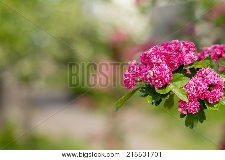 Beautiful Pink Hawthorn Blossom