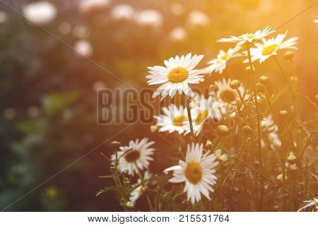 Tender Daisies In The Summertime