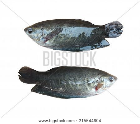 Trichogaster pectoralis or gourami fish isolated on white background and have clipping paths.