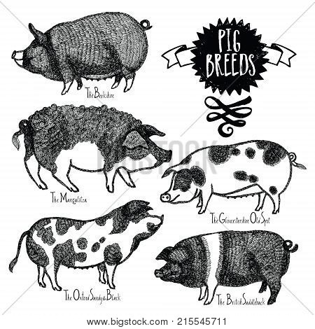 Pig Breeds Vector illustration Sketch style Hand drawn object