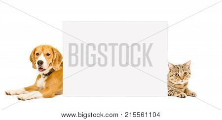 Beagle and cat Scottish Straight lying behind a banner, isolated on white background