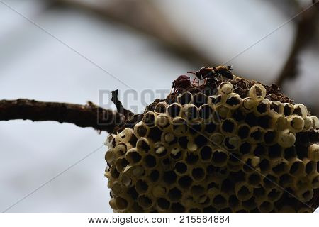 The hornet nest on the branch of the tree in tropical zone.