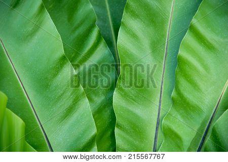 Green Bird's nest fern texture and background