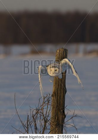 Snowy owl (Bubo scandiacus) taking off hunting at sunset over a snow covered field in Canada poster